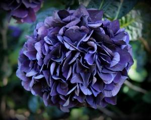 Hydrangea purple