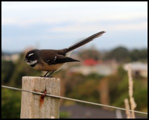 fantail visitor