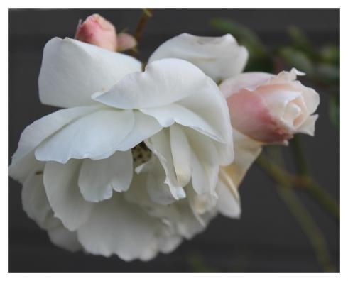 rose July 2015